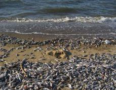 Ô nhiễm biển do Formosa gây nên làm chết cá.